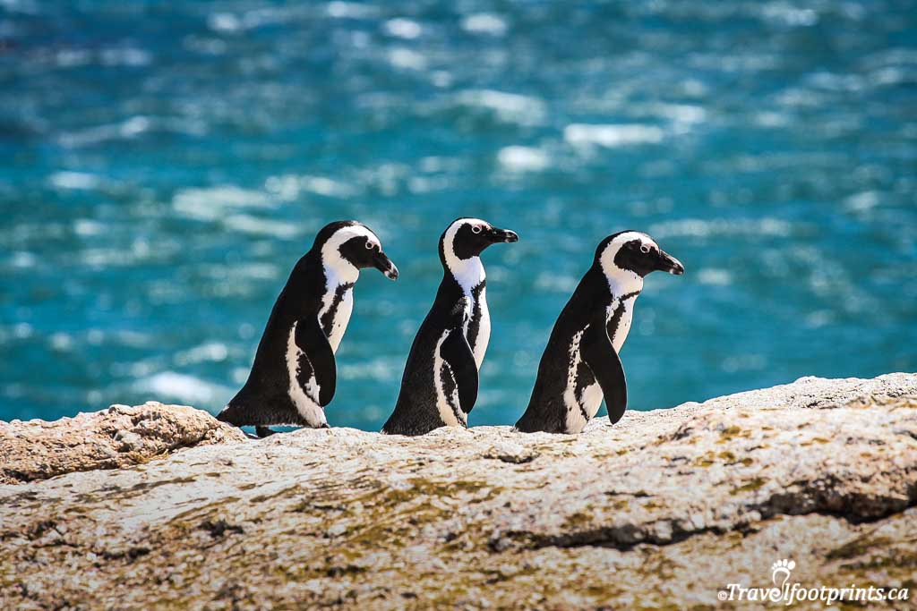three penguins walking along the rocks at boulders beach