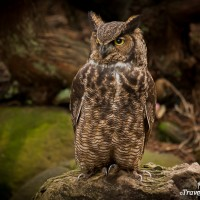 great horned owl sitting on rock at beacon hill park victoria british columbia
