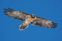 Lammergeier-bearded-vulture-flying-blue-sky-wings-spread-bird-prey