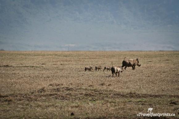 mother-warthog-piglets-running-grasslands-ngorongoro-crater-tanzania-safari-nothern-circuit-africa