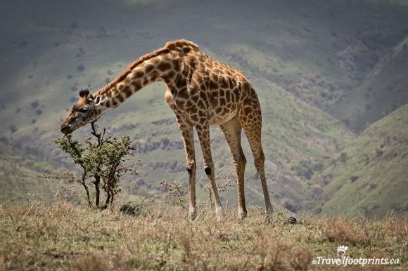 giraffe-grazing-small-tree-higlands-ngorongoro-conservation-area-tanzania-nothern-safari-circuit