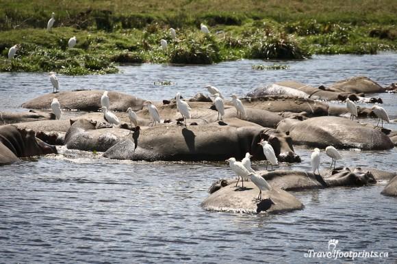 hippos-with-birds-on-backs-pond-ngorongoro-crater-water-grassland-wildlife-safari-tanzania