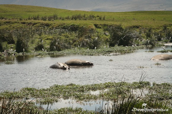 hippo-pond-ngorongoro-crater-floor-water-grasslands-wildlife-safari-tanzania