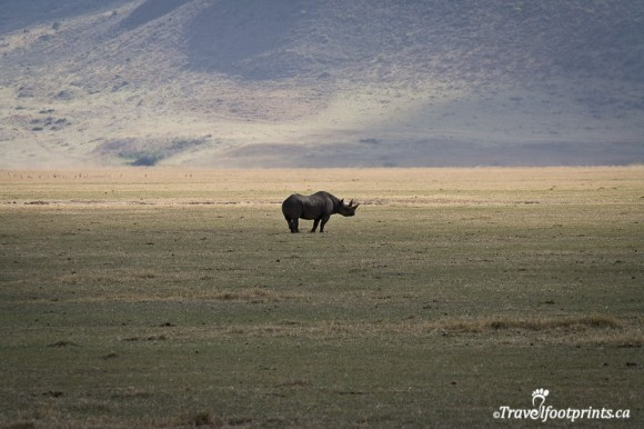 black-rhino-ngorongoro-crater-endangered-wildlife-rare-tanzania-africa-safari