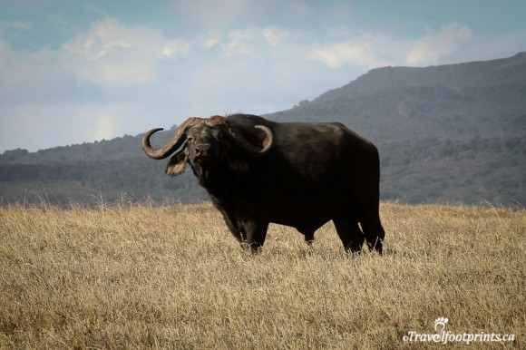 male-buffalo-standing-grasslands-ngorongoro-crater-floor-mountains-safari-africa-nothern-circuit-horns-wildlife