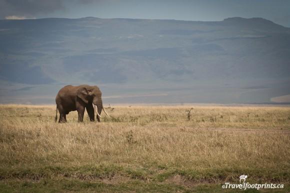 mature-bull-elephant-male-tusks-ngorongoro-crater-wildlife-grazing-tanzania-africa