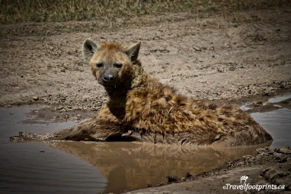 ngorongoro-crater-floor-spotted-hyena-laying-mud-dirty-wildlife-safari-tanzania