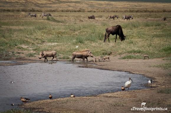 ngorongoro-crater-floor-warthogs-wildebeest-birds-zebra-ducks-african-wildlife-safari-water-nothern-circuit-tanzania