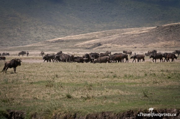 wildebeest-herd-grazing-ngorongoro-crater-floor-grass-land-african-wildlife-northern-safari-circuit-tanzania