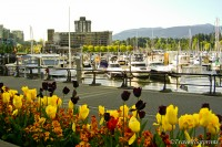 tulip garden along walkway of coal harbour downtown vancouver