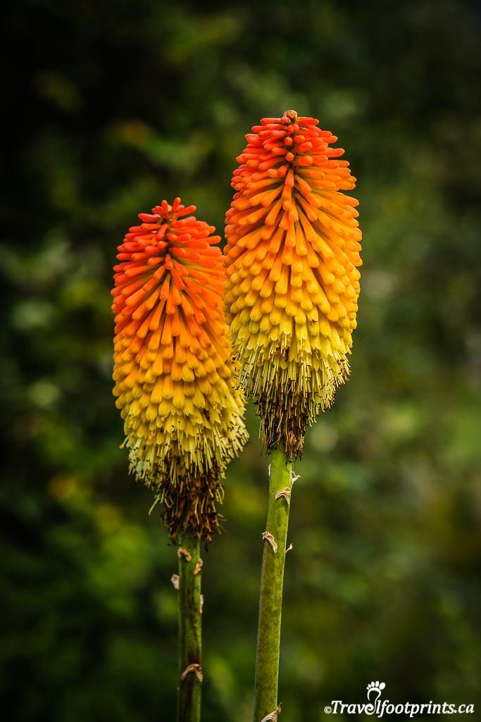 Poker flowers at Kirstenbosch Gardens south africa
