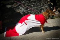 dog wearing canada day flag cape_