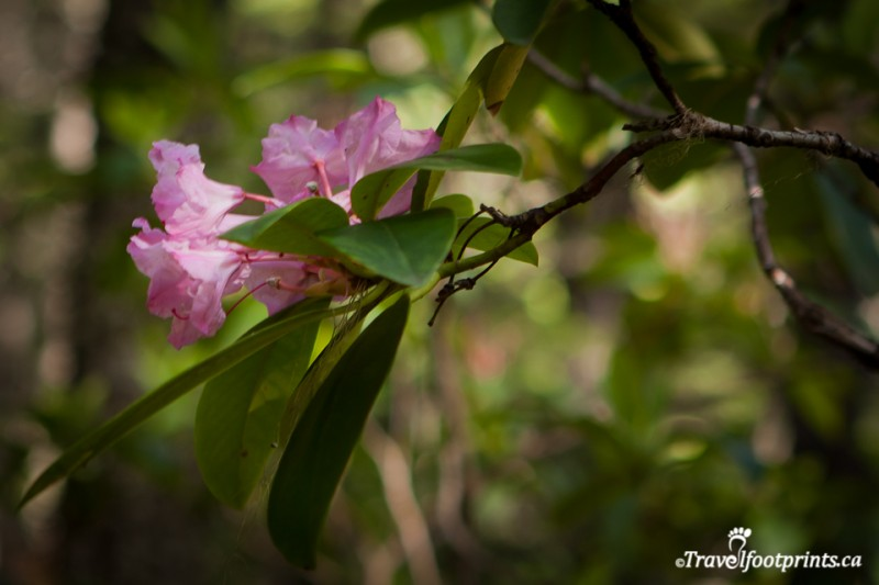 pink-plant-blooming-rhododendron-flats-manning-park-british-columbia-green-leaves-forest-trees-outdoor-petals