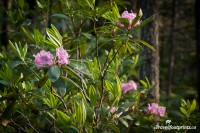 Wild Rhododendron Grove In Manning Park