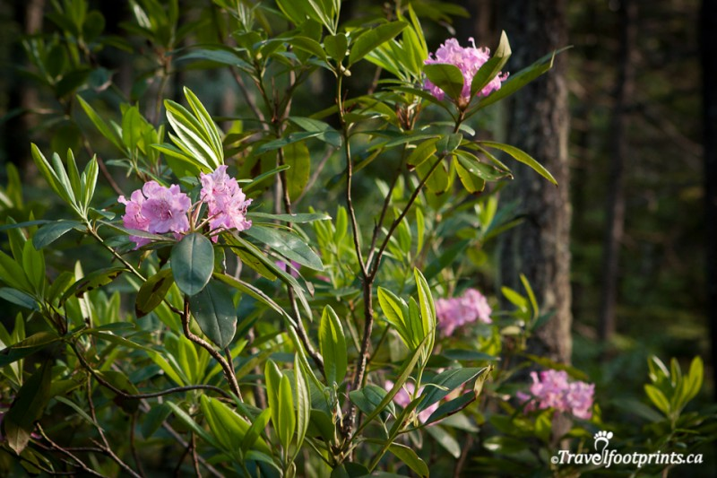 beautiful-rhododendron-plants-manning-park-british-columbia-trail-walk-outdoor-attraction-blooming-pink-flowers