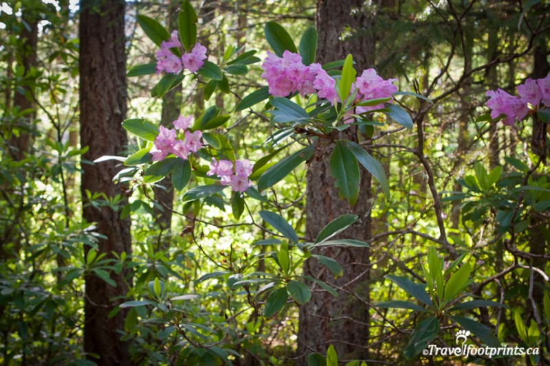 rhododendron-flats-easy-trail-walk-manning-park-hope-princeton-highway-attraction-british-columbia