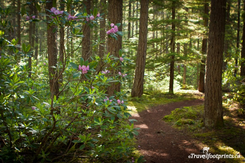 easy-loop-trail-rhododendron-flats-manning-provincial-park-british-columbia-flowers-blooming-forest-evergreen-trees-walks-outdoor-activities