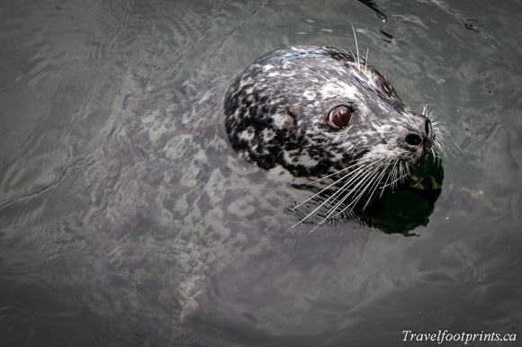 harbour-seal-victoria-bc-fishermans-wharf-tourist-attraction-ocean-marine-life