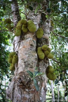 jack-fruit-growing-tall-tree-spice-tour-zanzibar-tourist-activity