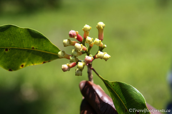 clove-flowers-spice-tour-zanzibar-tanzania-farm-local-tourism
