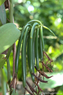 vanilla-pods-spice-tour-zanzibar-local-farm
