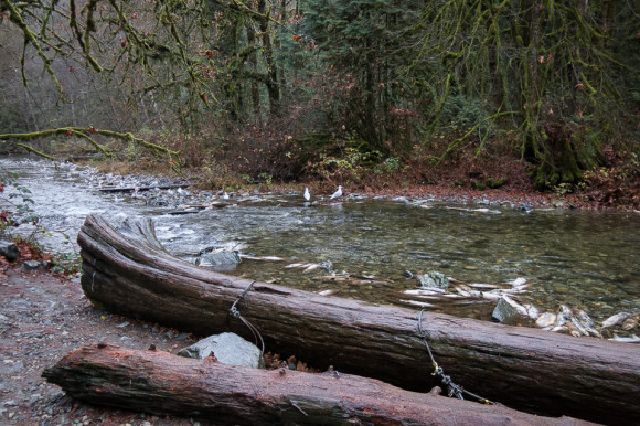 salmon-run-goldstream-river-provincial-park-logs-fish-rotting-spawning-trees-forest-vancouver-island-tourist-attraction-victoria