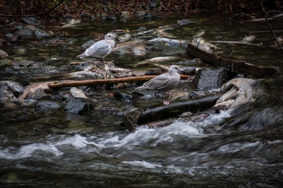 salmon-run-goldstream-provincial-park-river-seagull-water-victoria-vancouver-island