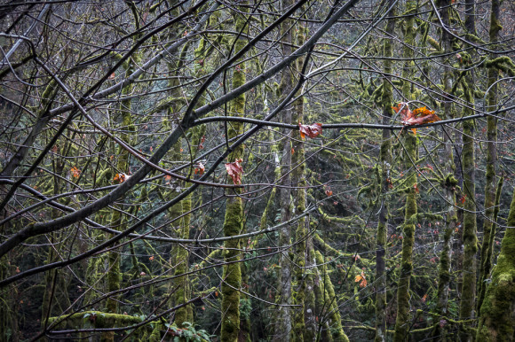 tree-branches-covered-in-moss-goldstream-provincial-park-victoria-bc-vancouver-island-tourist-attractions