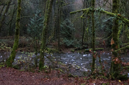The Salmon Run At Goldstream River