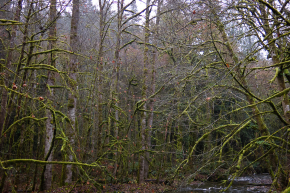 large-growth-trees-moss-vancouver-island-goldstream-provincial-park-vancouver-island-hiking