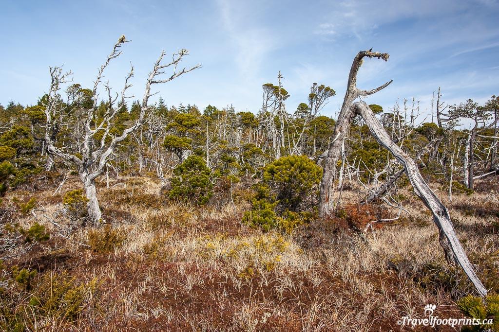 tofino shorepine bog trail